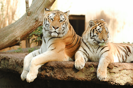 Tigers by © Lars Christnsen | Dreamstime Stock Photos http://www.dreamstime.com/tigers-free-stock-photo-imagefree1838435
